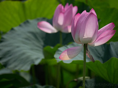 _P1080349 (Ian Liao) Tags: flower lumix lotus panasonic   100300mm m43 mft gh2 lumixg panasoniclumixg panasonicdmcgh2 100300f4056