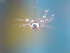Earth in the sky (bertrand kulik) Tags: macro eau earth drop reflet pissenlit dandelon