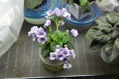 First Prize (khufram) Tags: africanviolet firstprize
