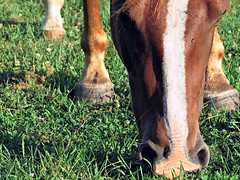 Nose Dive. (Silas_Xavier) Tags: horse brown white green texture face grass animal closeup nose legs eating stripe grazing snout hoofs