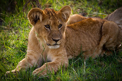 Lion Cub (charles lovely) Tags: africa charleslovely pride kenya wildlife predator travel nature gamedrive safari cats carnivore bigcats fuana maasaimaranationalreserve lion lioncub