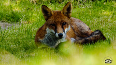 The Fox is Back-2 (Tom O'Donovan) Tags: fox nature wildlife wild dog grass summer waking up daylight daytime day nocturnal yorkshire england olympus omd em1