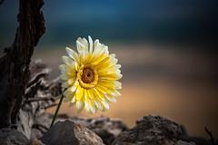 Eloge florale (Nyvek67) Tags: fleur flower bokeh canon 5d 5dc full frame plein format couleur gros plan extrieur 50mm