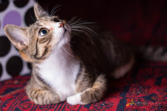 Kitten (grobler.inus) Tags: cat irene kitten playful cute pet animal photography fotoinusgrobler red lint carpet fur playing feline