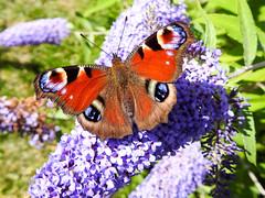 (Lepidoptera: Nymphalidae) Inachis io, Pfgelga / Peacock butterfly (holgeric77) Tags: karlstad vrmlandsln sweden se lepidoptera nymphalidae inachisio