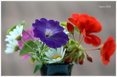 Petunie. (g.seifret) Tags: blume fleur flor fiore kvtina natur nature proda natura lto sommer summer estate te verano petunie flower flickrestrellas