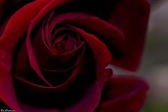 The Rose (Kent Freeman) Tags: smc pentaxd fa macro 100mm f28 wr pentax k3 d ricoh