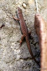 Lizard on the Wall (Frank Abbate) Tags: lizard wall lucertola garden reptile rettile salento canon eos 80d 50mm