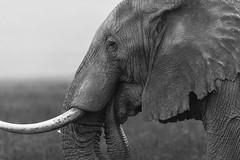 _DSG6866-2.jpg (sylvainbenoist) Tags: africa afrique animaux continentsetpays elephant mammifères nb nature ngorongoro tz tza tanzania tanzanie