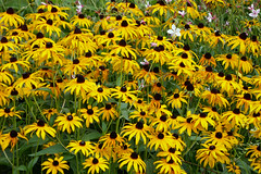 A vivid gold bunch of Black-eyed Susans - Rudbeckia - Jardin du Luxembourg (Monceau) Tags: jardinduluxembourg blackeyedsusans rudbeckia yellow flowers flowerbed