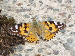 painted lady (47604) Tags: paintedlady butterfly great gt yarmouth