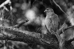 IMG_2785 Curiosity (B&W) (Rodolfo Frino) Tags: harrier bw blackandwhite tree branch sharp
