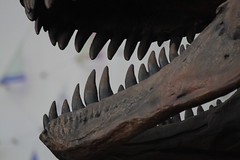 When's lunch? (viktrav) Tags: minnesota sciencemuseumofminnesota trex exhibit fangs teeth daggerteeth fossil jaw