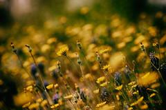 I fiori portano avanti un dialogo con la graziosa piega dei loro steli e le sfumature armoniosamente tinte dei loro petali (Gianni Armano) Tags: i fiori portano avanti un dialogo con la graziosa piega dei loro steli e le sfumature armoniosamente tinte petali colori gialli fiore natura selvatica campagna foto gianni armano photo