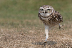 Running Burrowing owl (ToriAndrewsPhotography) Tags: burrowing owl running legs long photography andrews tori