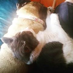 Pugs make excellent pillows for kittens. #Pug #kitten #Pugstagram #PugsofInstagram #kittenstagram #kittensofInstagram (Jenn ) Tags: ifttt instagram