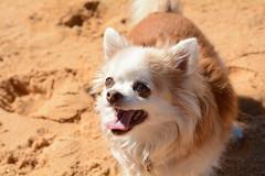 Jezebel having a ball (PM Clark) Tags: chihuahua purebred nikon d7100 dog beach centralcoastnsw copacabana