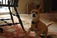 DSC_0019 (ghoulia) Tags: dogs dogvacay rovercom mutts chihuahua yorkie pomeranian