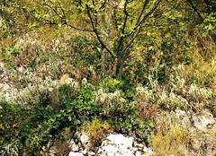 Carso flora on the Napoleonica (ScotchBroom) Tags: flora carso karst trieste napoleonica napoleonicatrail fvg friuliveneziagiulia sentiero vegetation mediterraneanvegetation
