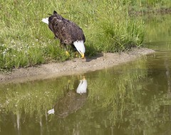 Me and My Shadow (a56jewell) Tags: a56jewell bird eagle workshop water reflection july2015 ontario summer