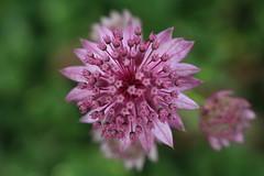 Astrantia (E&T - Photography) Tags: canon 1200d closeup macro plant flower blossom pink purple color green netherlands holland nederland bloem astrantia apiaceae zeeuws knopje et bokeh 60mm