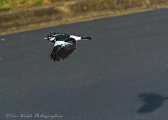 Shadow flight... (Beckett_1066) Tags: birdsinyard pee wee murray magpie