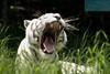Tigre de Bengala Blanco - Parque Bararida (Barquisimeto, Edo Lara - Venezuela) (jsg²) Tags: lara venezuela veneadictos paisajesdevenezuela bellezasdevenezuela jsg2 fotografíasjohnnygomes johnnygomes fotosjsg2 barquisimeto bqto ciudadcrepuscular ciudadmusicaldevenezuela parquezoológicoybotánicobararida bararida parquebararida tigreblanco tigredebengalablanco whitetiger