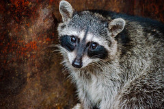 Wild (UniquelyHis4ever) Tags: raccoon racoon raccon animal wildlife wild creature bandit mask mammal outdoor dumpster angelisland eyes soul