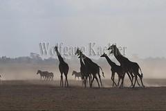 10076050 (wolfgangkaehler) Tags: 2016africa african eastafrica eastafrican kenya kenyan amboseli amboselikenya amboselinatlparkkenya amboselinationalpark wildlife mammal giraffe giraffes giraffacamelopardalistippelskirchi herd tower group burchellszebra burchellszebraequusquagga burchellszebras dust dusty duststorm duststorms