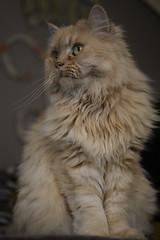 Monster (Samicorn) Tags: nikon cat kitty fluffy monster fur fluff whiskers yelloweyes nose persian persiancat dollfacepersian dollface soft