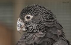 Walsrode, Weltvogelpark, Graupapagei (joergpeterjunk) Tags: walsrode weltvogelpark outdoor tier vogel canoneos50d canonef100400mmf456lisusm graupapagei latpsittacuserithacus