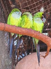 """Le Parc des Oiseaux d'Iguaçu: des perruches <a style=""""margin-left:10px; font-size:0.8em;"""" href=""""http://www.flickr.com/photos/127723101@N04/29531256712/"""" target=""""_blank"""">@flickr</a>"""