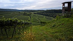 DA kommt der Wein her... (MH *) Tags: wein trauben reben genus d7200 vine vineyard malterdingen bombach landschaft landscape herbst autumn