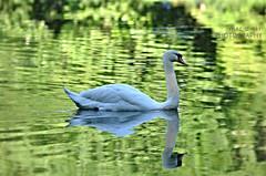 Proud #swan #beautiful #proud (mac d-ski photography) Tags: reflection swan animal bird white water nature bokeh dof