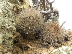 Neochilenia chilensis RB2001 (Robby's Sukkulentenseite) Tags: cacti cactus chile chilensis eriosyce ka3386s kakteen kaktus losmolles neoporteria rb2001 reise standort valparaiso