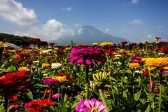 Zinniya & mt Fuji (Koku85) Tags: landscape flower zinnia nature flor japan