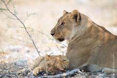 DSC_4055.JPG (manuel.schellenberg) Tags: namibia etosha animal nationalpark lion