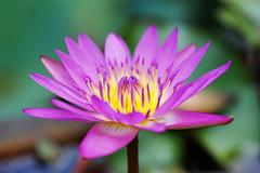 Water lily (aelx911) Tags: a7markii a7m2 a7ii sony glens fe90 fe90f28 macro waterlily lotus nature bokeh taiwan taipei plant