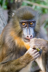 Mandrill (digoarpi1) Tags: mandrill head male face animal closeup hairy shaggy mammal red brown yellow fur bright africa rainforest mandrillus monkey portrait beard cameroon baboon angry color primate colorful blue sphinx hair zoo wild nature exotic pretty gabon nose wildlife