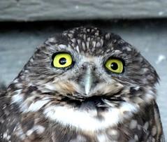 The burrowing owl (EcoSnake) Tags: burrowingowl owls birds wildlife september idahofishandgame nature center