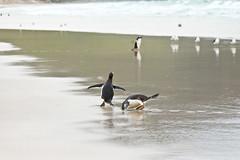 Day 10 191a (brads-photography) Tags: beach falklandislands falklands gentoopenguins pair pygoscelispapua reflection running saunders splashing standing two walking water wildlife