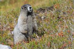 Hoary Marmot (Zach Hawn) Tags: mountain wildlife wilderness wild outdoors pnw pacificnorthwest washington nationalpark mrnp mora hiking mountrainier mtrainier rainier hike alpine nature