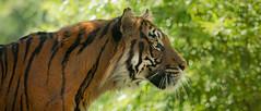 Walking Up (Oddernod) Tags: daytime tamron sandiegosafaripark tiger bigcat sumatrantiger canon70d outdoor zoo tamron70300 sandiego animal