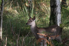 Sika deer (roger_forster) Tags: sika deer arne rspb wareham dorset wild wood cervusnippon