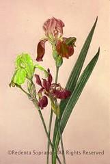 Buttonhill Iris