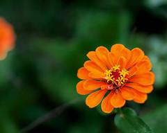 Capital O..for Orange... (zoomclic) Tags: canon closeup colorful 5dmarkii tse90mmf28 flower foliage summer zinnia nature dof dreamy bokeh orange green plant garden vivid zoomclicphotography
