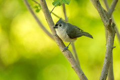 Tufted Titmouse (NA birds by Carol) Tags: tufted titmouse