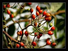 Frchte des Herbstes (karin_b1966) Tags: pflanze plant rose garten garden natur nature frchtedesherbstes fruitsofautumn 2016 hagebutten yourbestoftoday