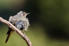 After a bath ! (Esmaeel Bagherian) Tags:         bird birdsphotography birds birdwatcher birdwatching redstart esmaeelbagherian 2016 1395