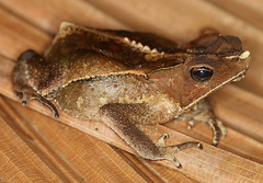 Crested Forest Toad (Bufo margaritifer) (cowyeow) Tags: brown macro peru latinamerica southamerica forest river amazon rainforest nocturnal amphibian toads freaky frog toad frogs tropical unusual crested loreto herp herps peruvian herpetology bufo madreselva amazonriver herping bufomargaritifer foresttoad margaritifer crestedforest
